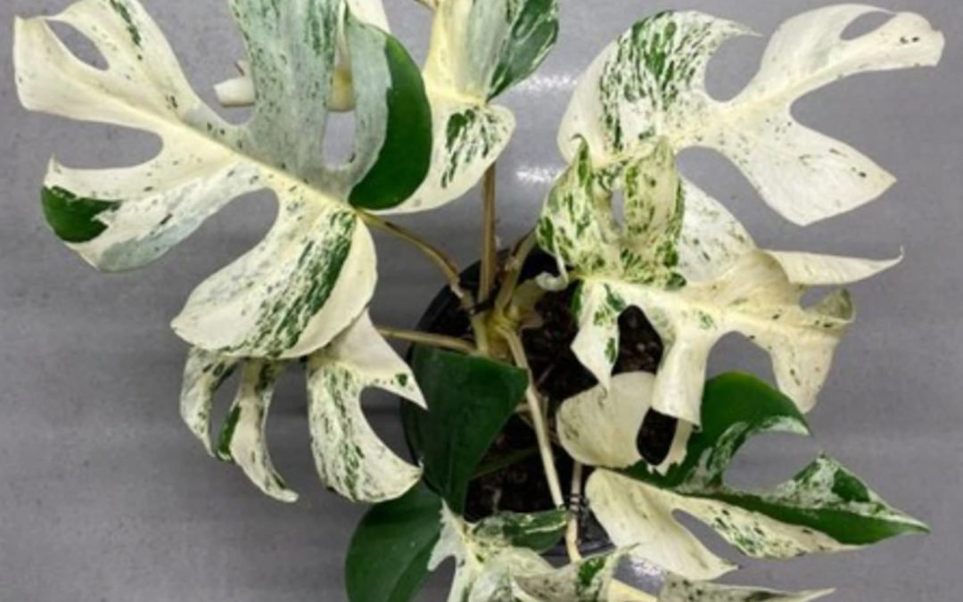 This Rare Houseplant Just Sold For Nearly $20,000